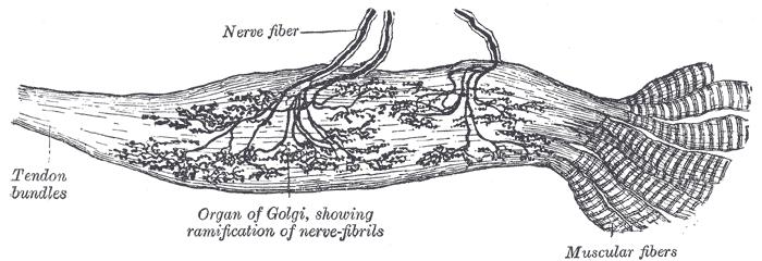 Organe de Golgi